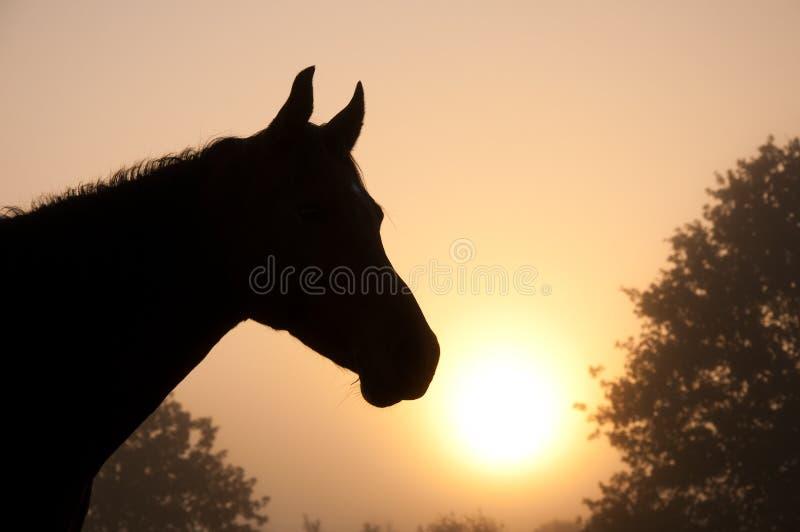 Bella immagine di una testa del cavallo araba come si immagini stock