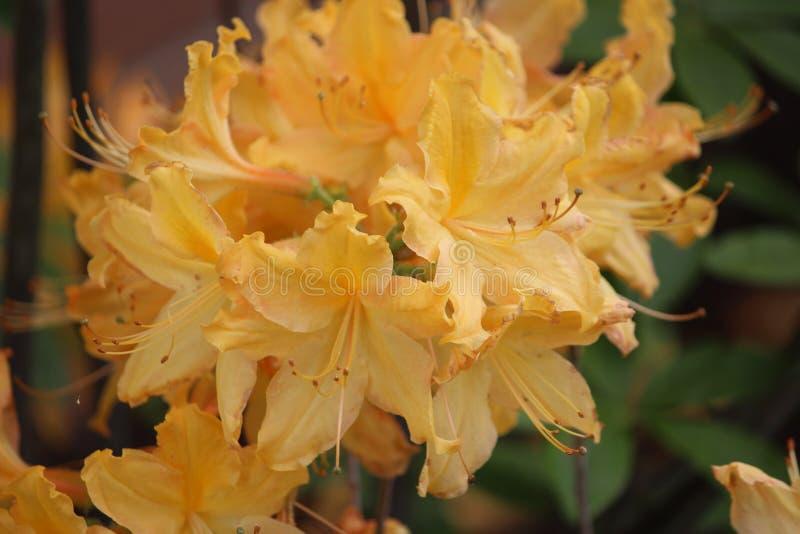 Bella immagine gialla calda del fiore immagini stock libere da diritti