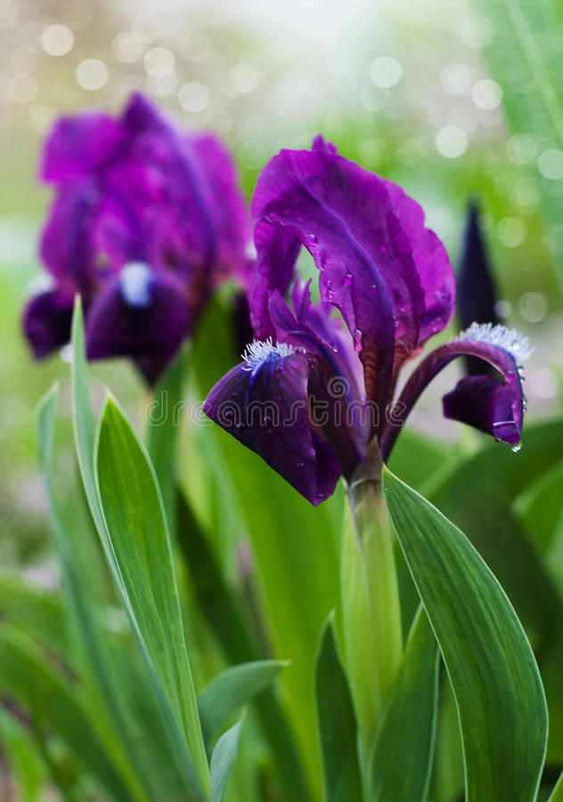 Download Bella iride immagine stock. Immagine di pistil, colore - 30830245
