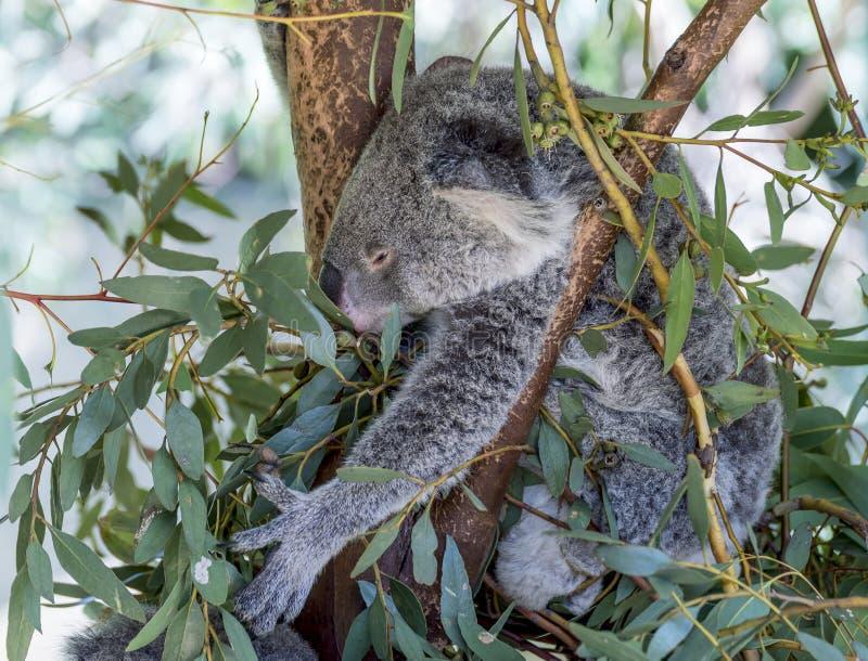 Bella koala veduta mentre afferrando le foglie di un albero per mangiare, Australia occidentale immagini stock