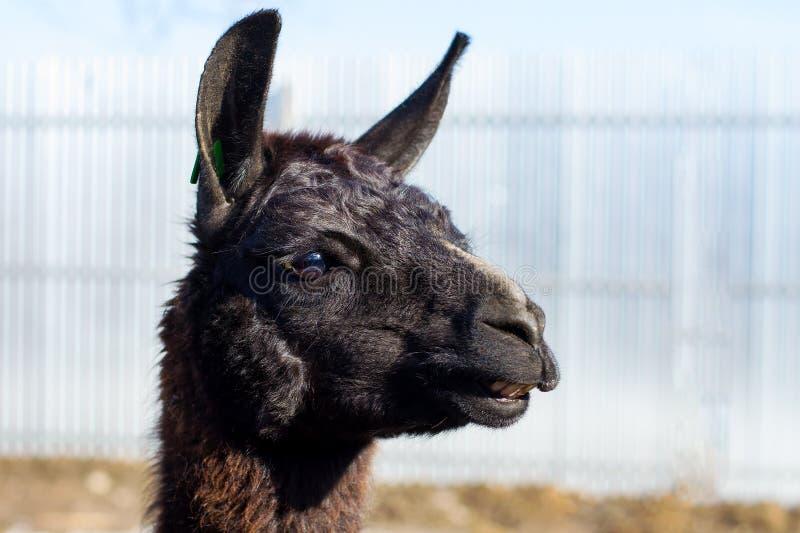 Bella lama nera Primo piano Natura selvaggia animali immagini stock libere da diritti