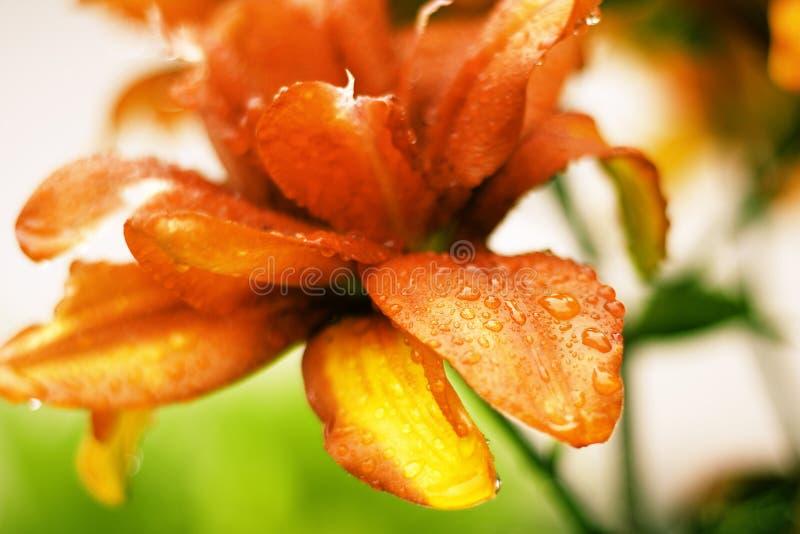 Bella Lily Flowers Wallpaper fotografia stock libera da diritti