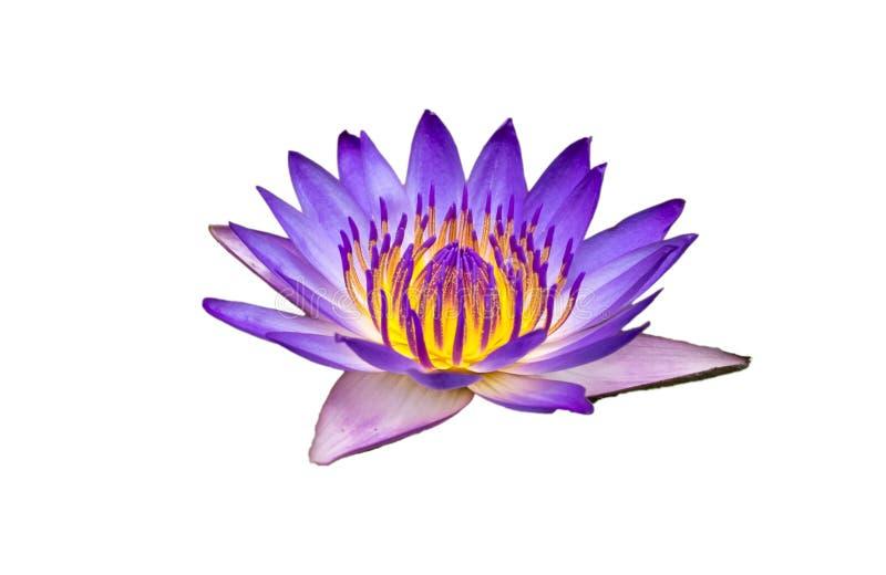 Bella Lotus Flower Isolated gialla porpora su fondo bianco con il percorso di ritaglio fotografia stock