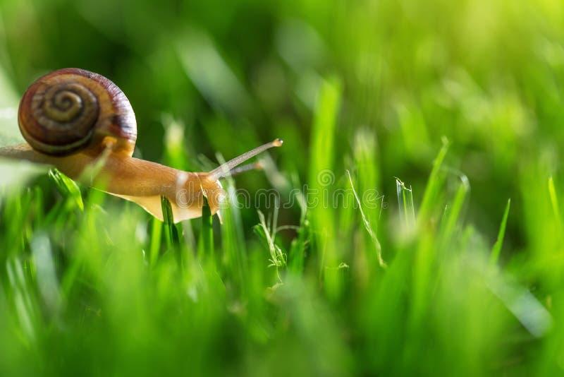 Bella lumaca adorabile in erba con la rugiada di mattina immagine stock libera da diritti