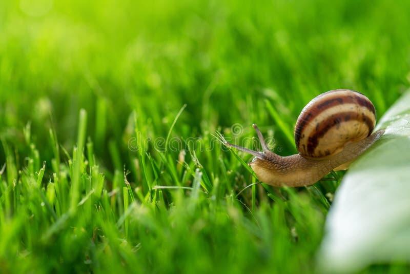Bella lumaca adorabile in erba con la rugiada di mattina immagine stock