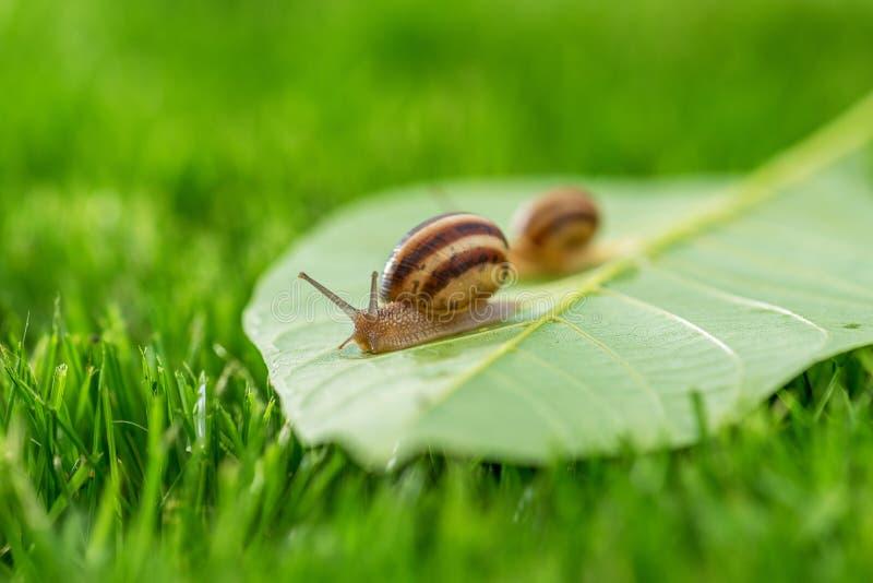 Bella lumaca adorabile in erba con la rugiada di mattina fotografie stock libere da diritti