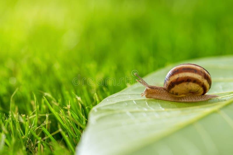 Bella lumaca adorabile in erba con la rugiada di mattina fotografia stock