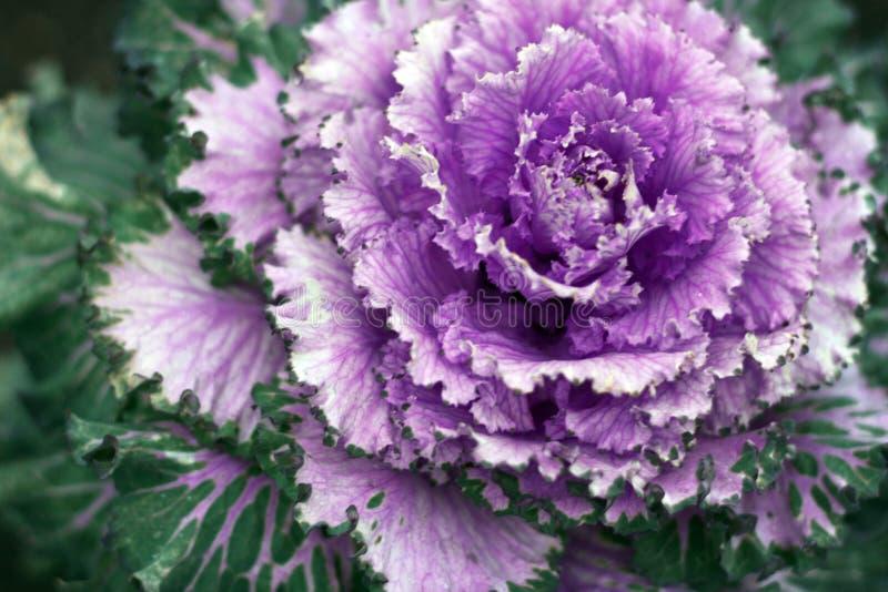 Bella macro del cavolo decorativo ornamentale Colore d'avanguardia del protone porpora fotografia stock libera da diritti