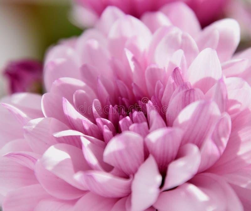 Bella macro porpora del chrysanth in sole fotografia stock
