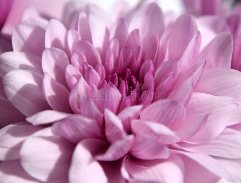 Bella macro porpora del chrysanth in sole fotografia stock libera da diritti