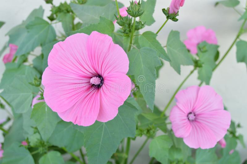 Bella malva rosa nel giardino di estate immagine stock libera da diritti