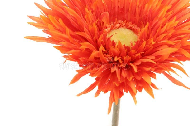 Bella margherita arancione del gerbera isolata su bianco immagini stock libere da diritti