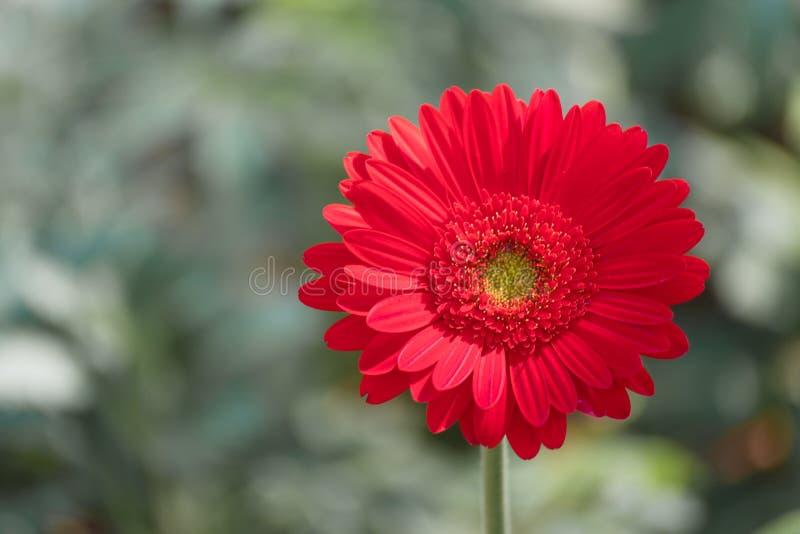 Bella margherita rossa della gerbera del primo piano e fiore pastello variopinto Margherita rossa della gerbera sul blackground d fotografia stock