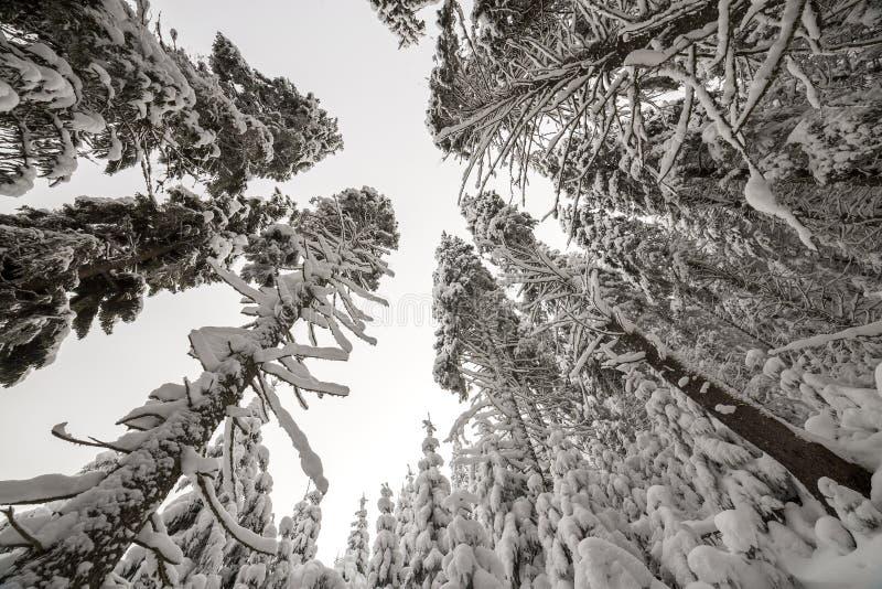 Bella maschera di inverno Alberi attillati alti coperti di neve e di gelo profondi sul chiaro fondo del cielo buon anno ed allegr fotografia stock libera da diritti