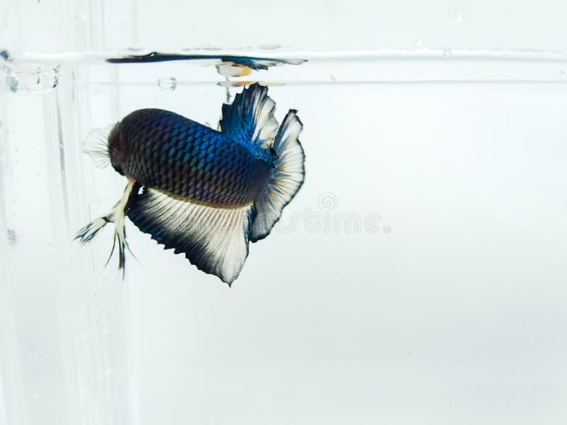 Bella mezzaluna blu e pesce giallo dorato di betta del plakad con le alette lanuginose isolate fotografia stock