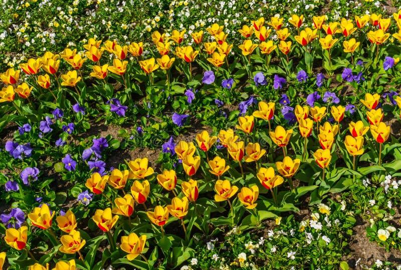 Bella molla, di tulipani colorati multi piantati nel parco della città immagine stock