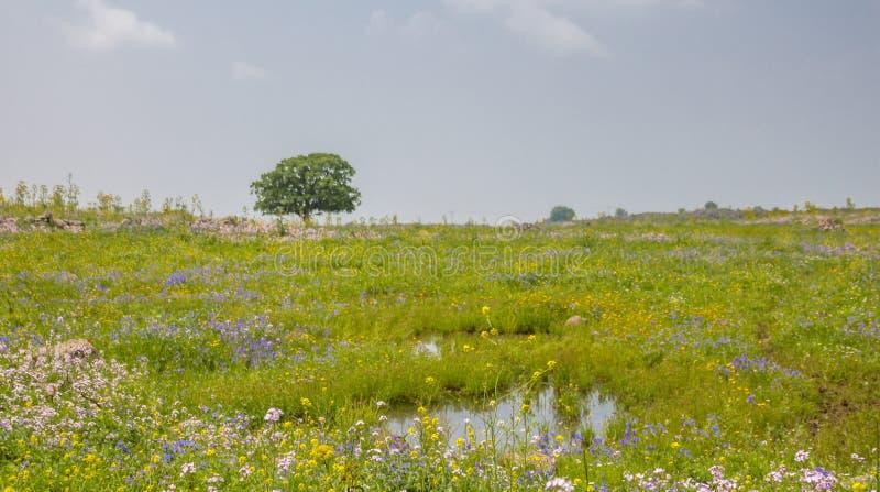 Bella molla nel Mediterraneo Paesaggio rurale con un singolo albero e un prato sbocciante fotografie stock
