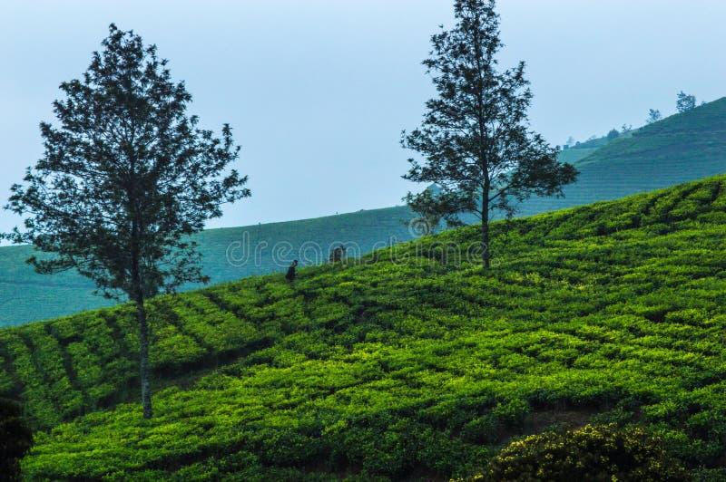 Bella natura Cukul, paesaggio ad ovest della piantagione di tè di Java immagine stock libera da diritti