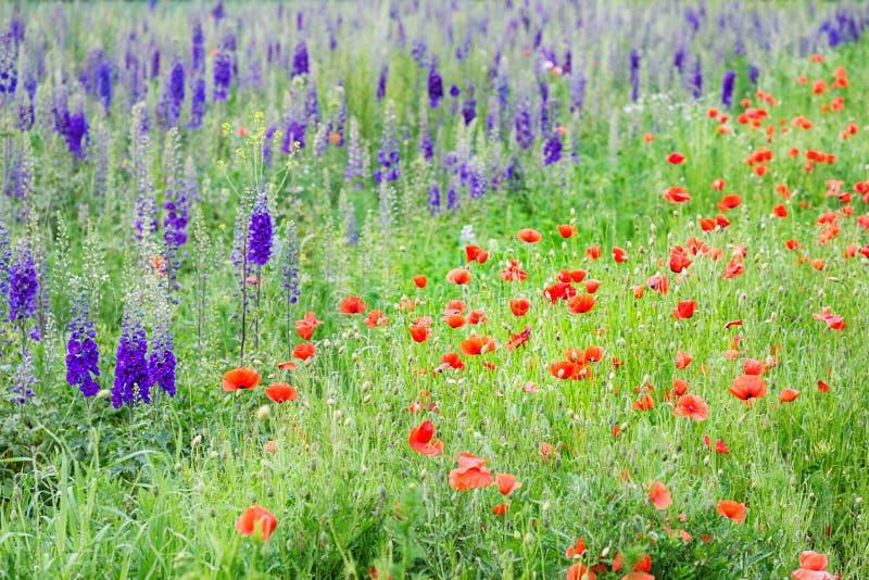 Bella natura, estate Campo con i fiori ed i papaveri porpora di speronella fotografie stock