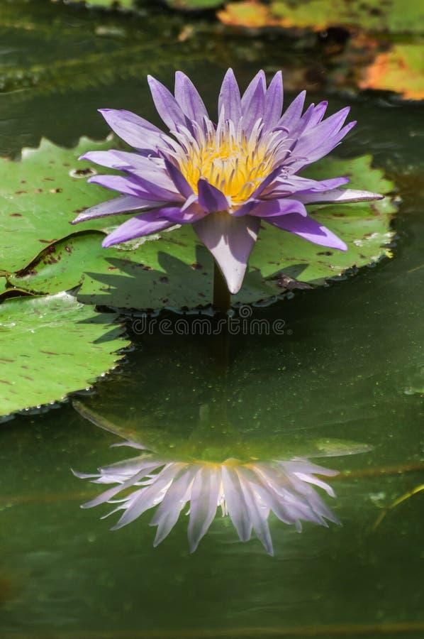 Bella ninfea o loto porpora con la riflessione immagini stock
