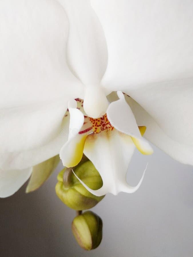 Bella orchidea bianca sul primo piano di davanzale fotografia stock libera da diritti