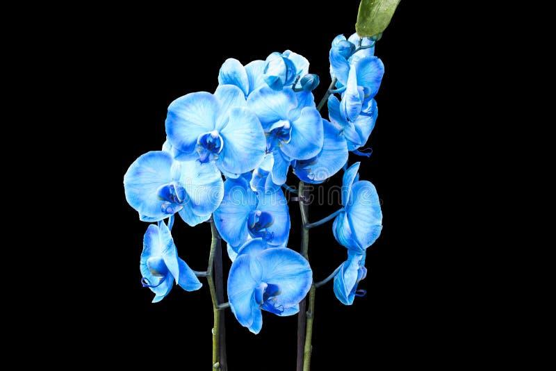 Bella orchidea blu senza fondo, fiori luminosi dell'orchidea blu su un fondo nero Isolato fotografia stock libera da diritti