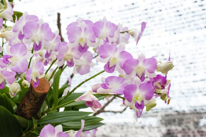 Bella orchidea (phalaenopsis) fotografie stock libere da diritti