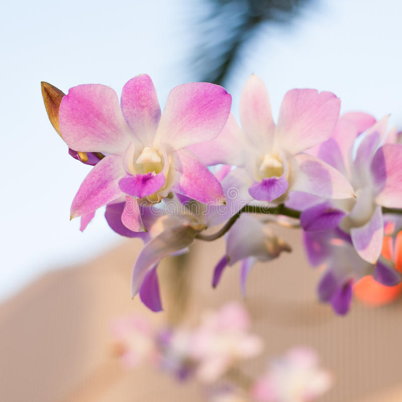 Bella orchidea (phalaenopsis) fotografia stock