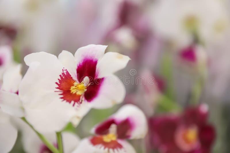 Bella orchidea tropicale di fioritura su fondo vago, primo piano immagine stock