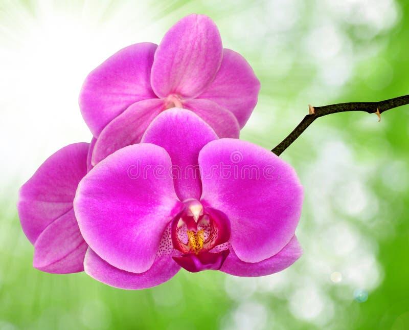 Bella orchidea viola immagine stock immagine di fioritura for Orchidea fioritura
