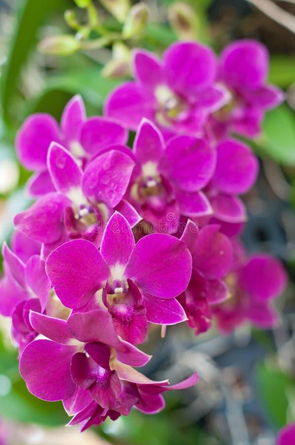 Bella orchidea viola fotografie stock