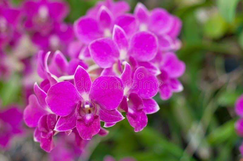 Bella orchidea viola fotografia stock libera da diritti