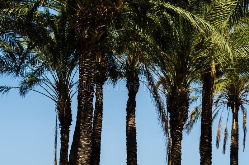 Bella palma di diffusione, simbolo esotico delle piante delle feste, immagine stock