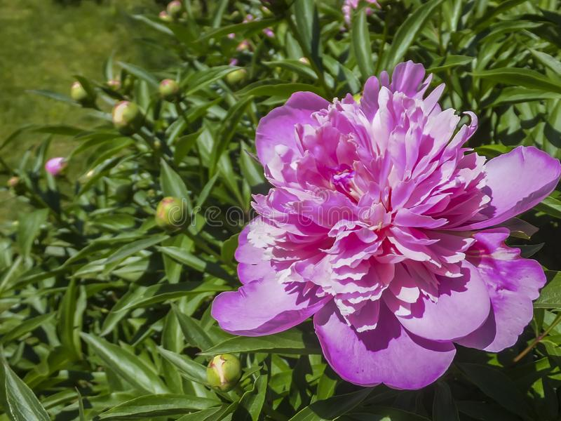 Bella peonia rosa luminosa che fiorisce sotto il sole contro il verde scuro del giardino fotografia stock