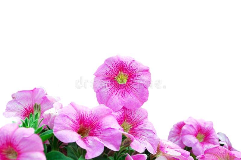 Bella petunia dentellare immagine stock