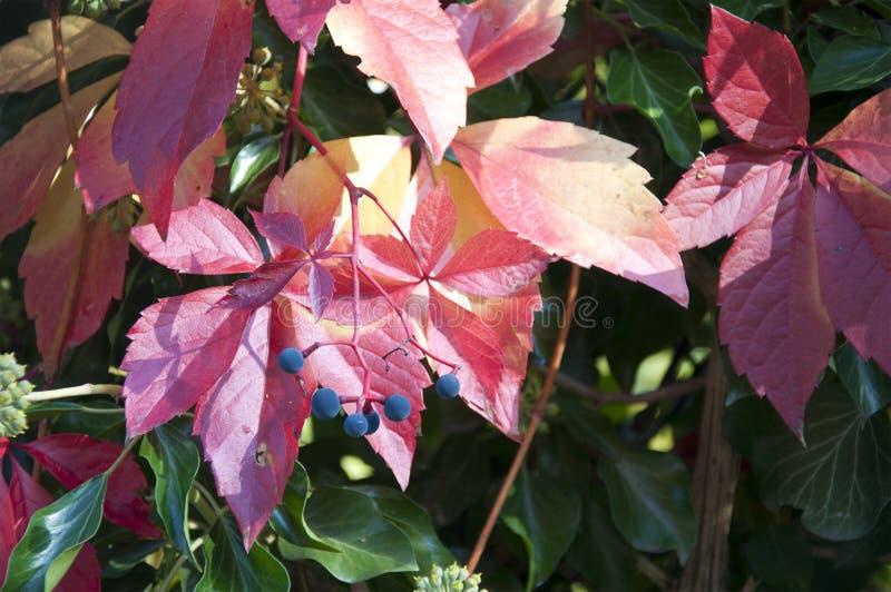 Bella pianta con le foglie rosse immagine stock immagine for Pianta con foglie rosse