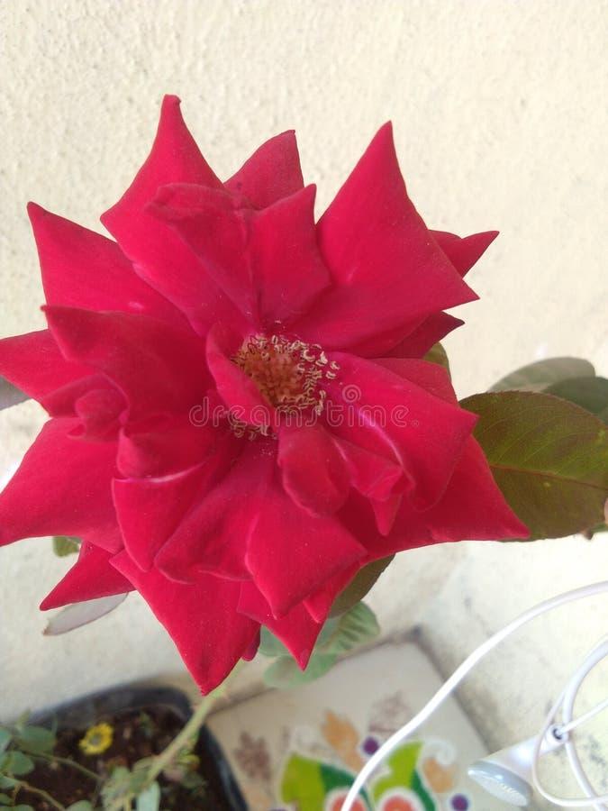 Bella pianta indiana del fiore della rosa rossa immagine stock libera da diritti