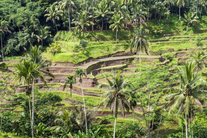 Bella piantagione del campo del terrazzo della risaia a Tegallalang durante l'inizio di pomeriggio fotografia stock