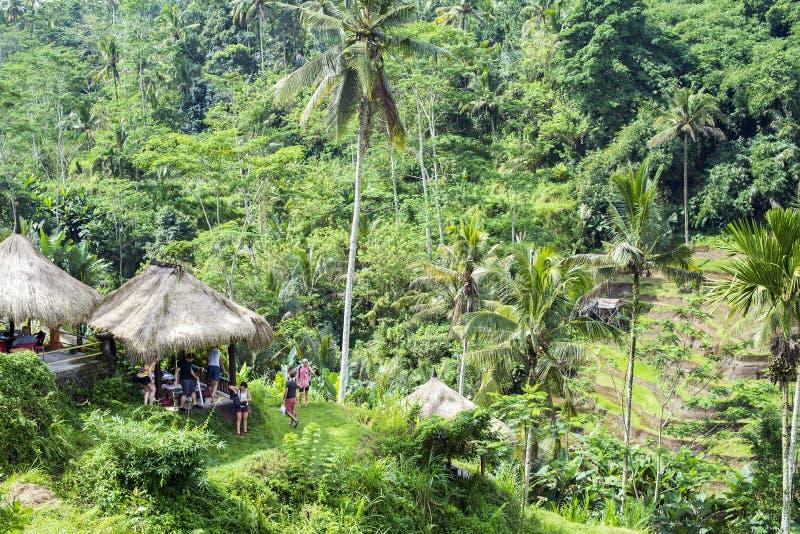 Bella piantagione del campo del terrazzo della risaia a Tegallalang durante l'inizio di pomeriggio fotografia stock libera da diritti