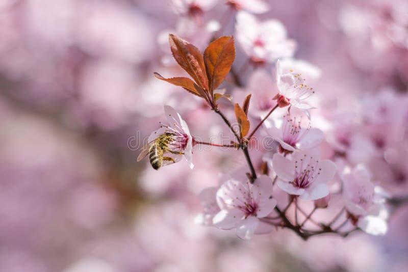 Bella piccola ape del miele che impollina i fiori rosa della ciliegia fotografia stock libera da diritti