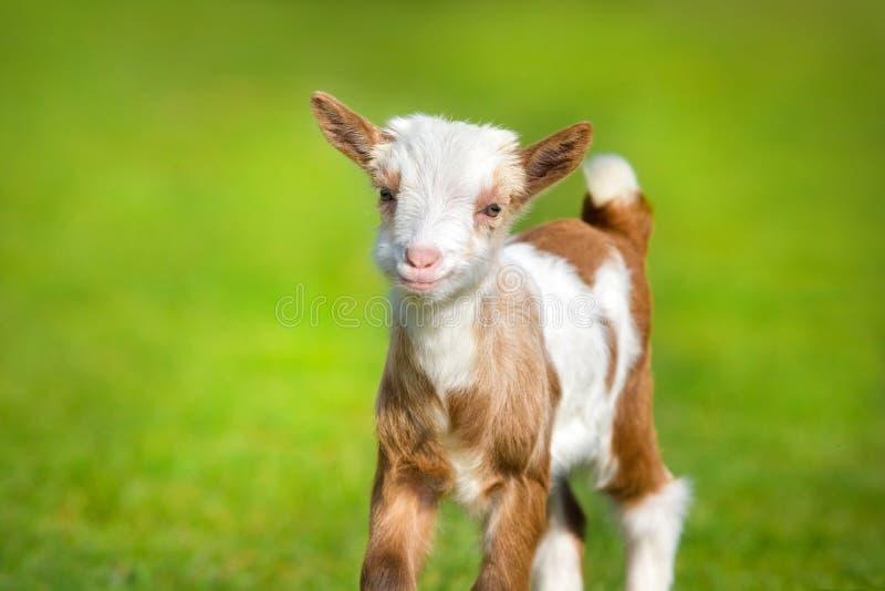 Bella piccola capra fotografia stock