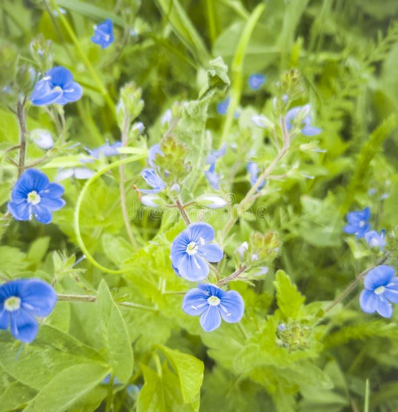 Bella piccola crescita di fiori blu selvaggia nel campo fotografia stock