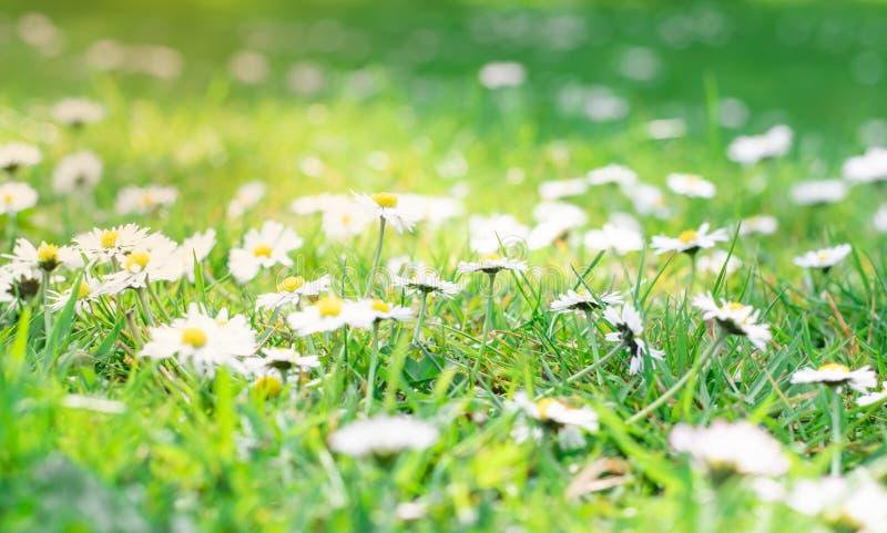 Bella piccola margherita bianca sugli ambiti di provenienza delle erbe verdi fotografia stock