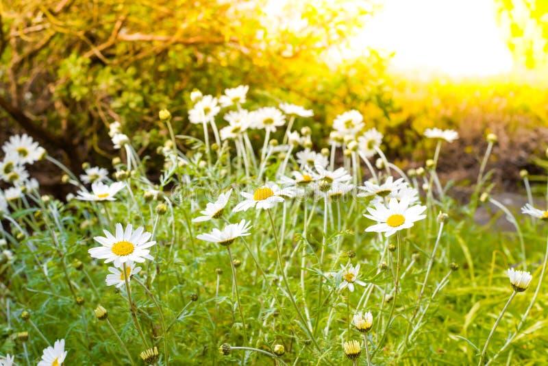 Bella piccola margherita bianca sugli ambiti di provenienza delle erbe verdi immagini stock libere da diritti
