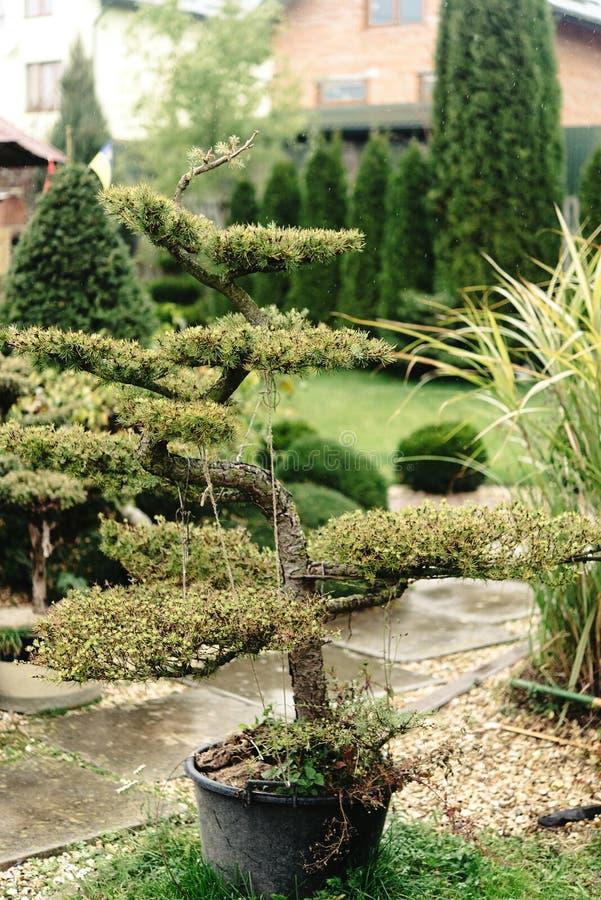 Bella piccola varietà dei bonsai degli alberi sull'iarda, sul mercato e su GA immagini stock