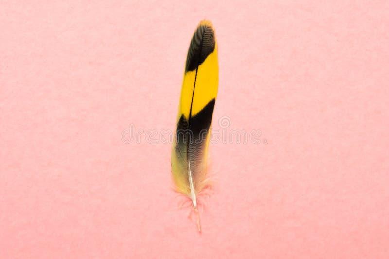 Bella piuma variopinta multicolore del pappagallo su fondo rosa immagine stock