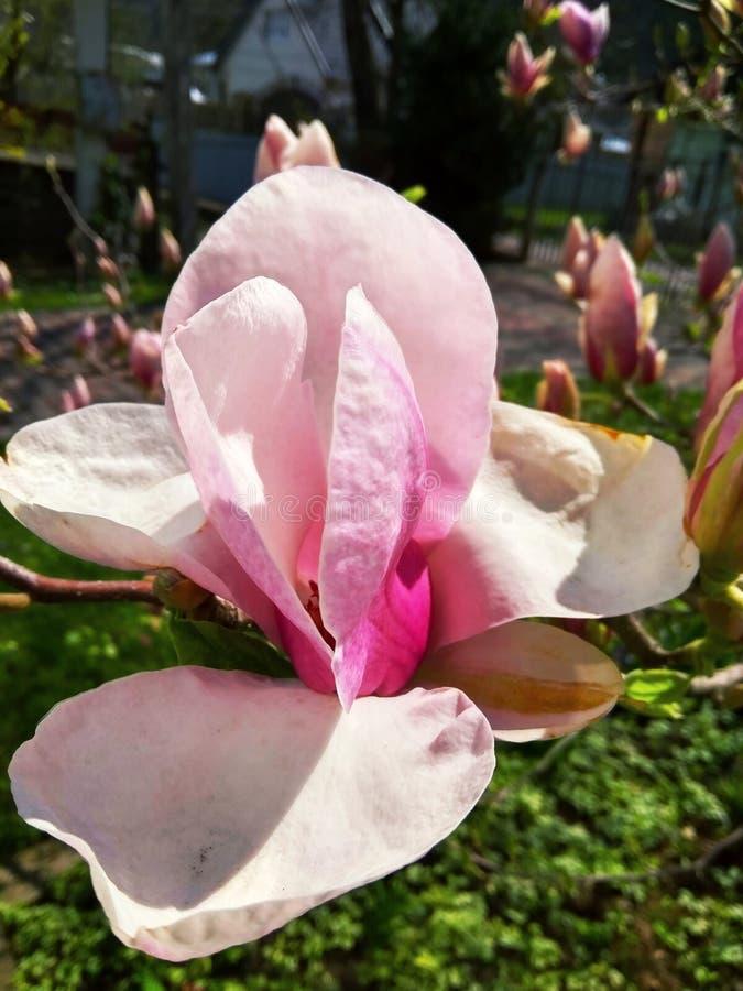 Bella prima magnolia del fiore della molla in giardino immagine stock