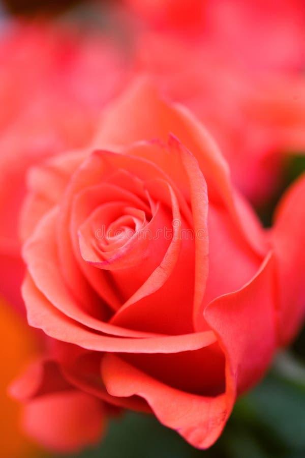 Bella priorità bassa delle rose immagini stock libere da diritti