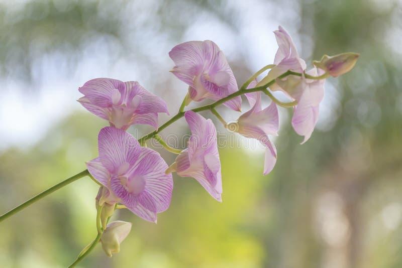 Bella priorità bassa dentellare dell'orchidea? creata in ps fotografia stock libera da diritti