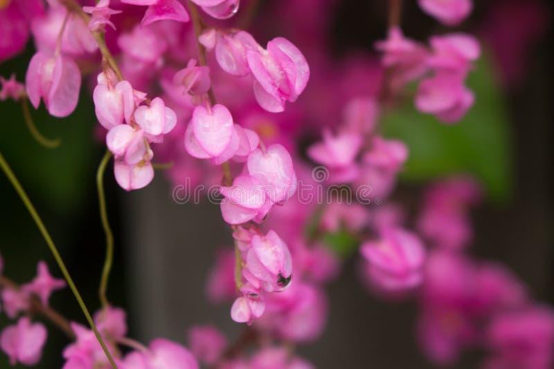Bella progettazione rosa dell'estratto dei fiori di Defocus con il filtro colorato fotografia stock libera da diritti